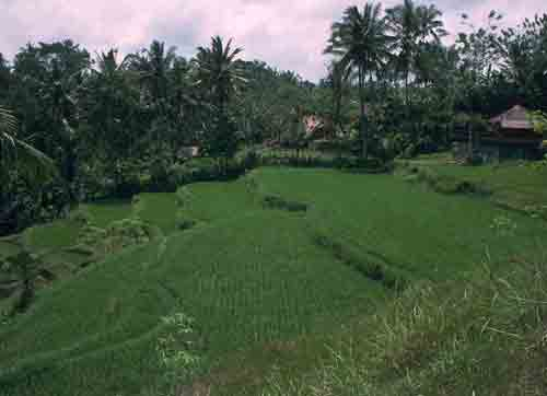 Balinese Rice Terraces