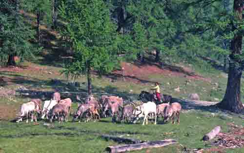 Young girl herding reindeer