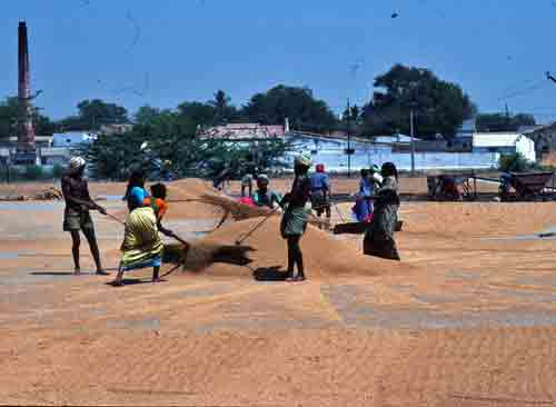 Gathering Sun-Dried Rice in Tamil Nadu