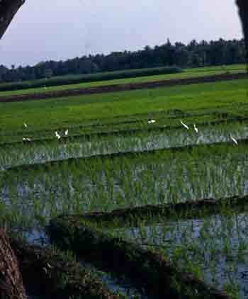 Mysore Rice Paddy