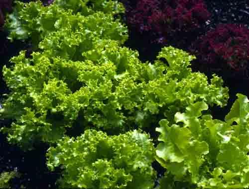 Lettuce-B